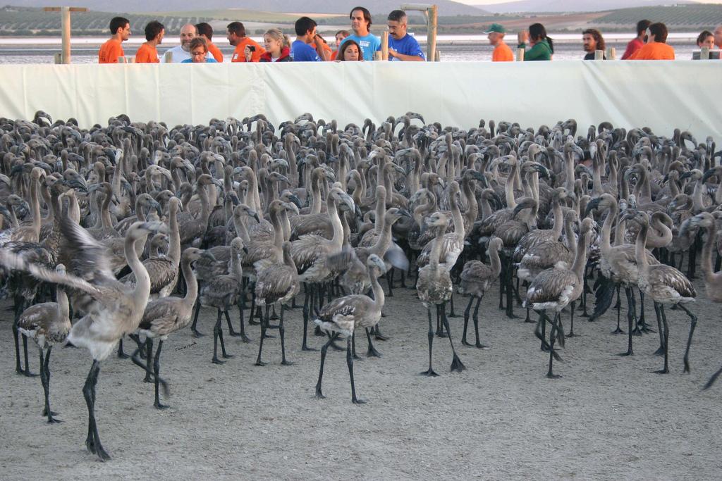 Ringing Flamingos 2011